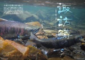 巻頭カラーは、全滅の危機を乗り越えた諏訪湖から里川へと遡上する鱒たちを。