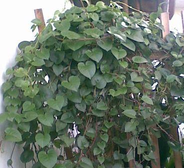 jual daun binahong
