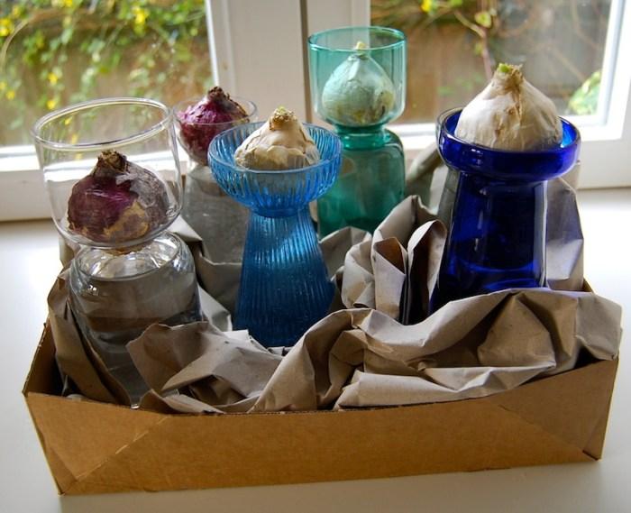 Forcing hyacinth bulbs 3