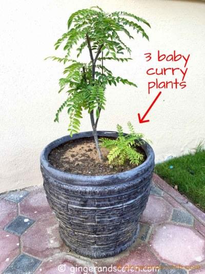 Curry Plant (Murraya koenigii)