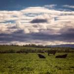 Vaches et lever du soleil