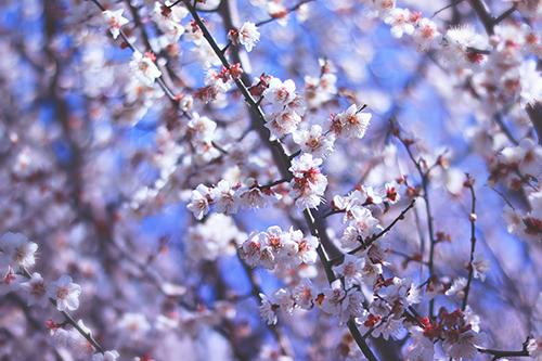 よく晴れた日の梅の花のフリー写真素材(商用可)