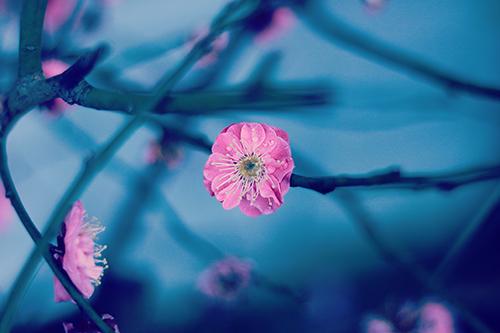 雨に濡れたピンク色の梅の花のフリー写真素材(商用可)