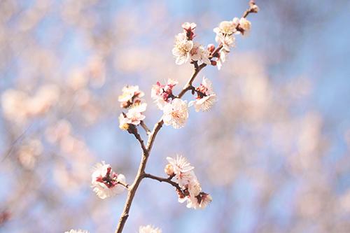 空に向かって咲き乱れる梅の花のフリー写真素材(商用可)