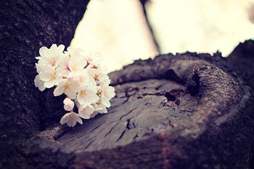 幹に出来たお皿に載っているような桜の花たちのフリー写真素材(商用可)