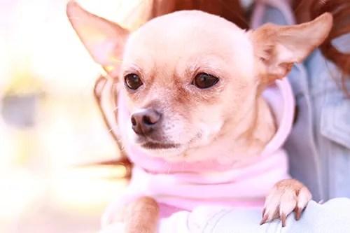 チワワとミニチュアピンシャーのミックス犬『べべ』ちゃんのフリー写真素材(商用可)