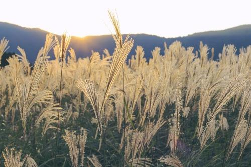 目の前に広がる美しいススキ畑のフリー写真素材(商用可)