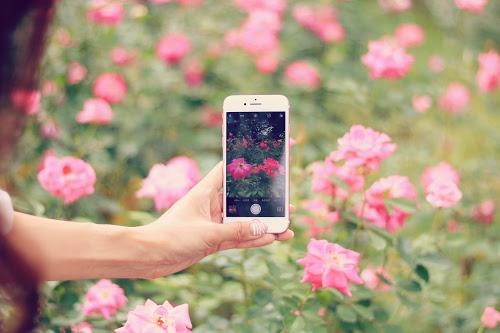 花を撮影中のスマートフォン(縦向き)のフリー写真素材(商用可)