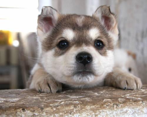 Medium Of Cute Husky Puppies