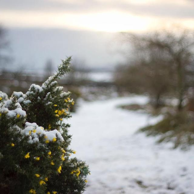 Snowy bright yellow gorse at the weekend!