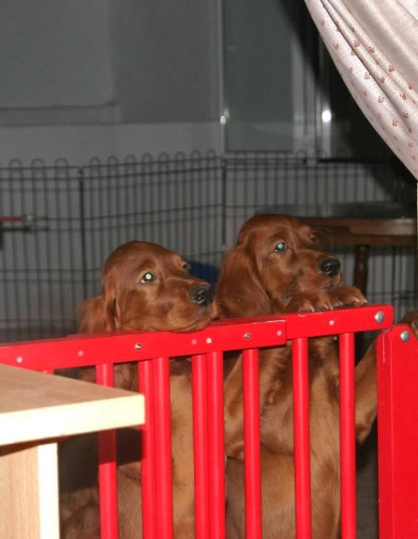 En la foto los ejemplares Glenveagh Luck & Succes (Sanne) y Glenveagh Catch The Luck (Coco), esperando su turno durante una de las revisiones veterinarias en casa.