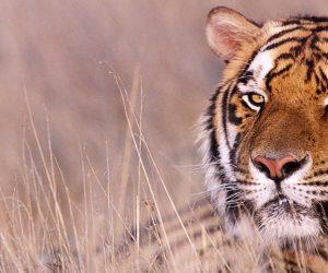 Tiger Talk | Bengal Tiger