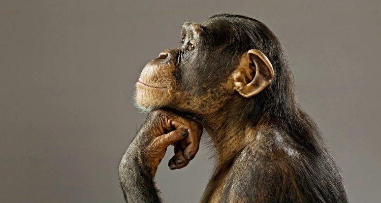 primate wallpaper