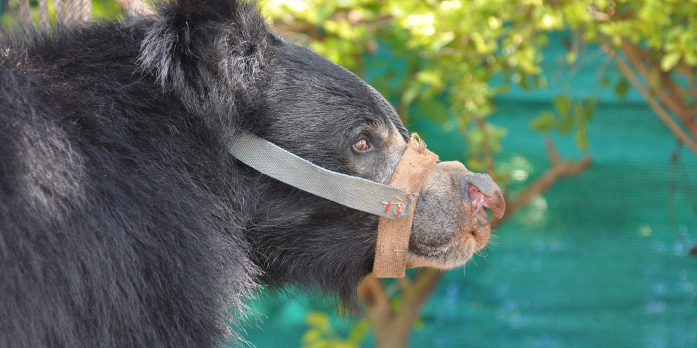 animal cruelty traditions in spain how we rescued the dancing bears