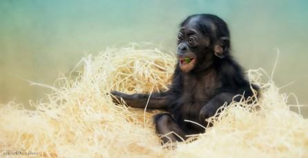 Baby Chimp | Sonja Probst