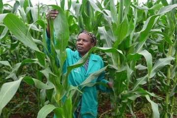 516-KENYA_woman_farmer_corn_crops_ImageIRIN
