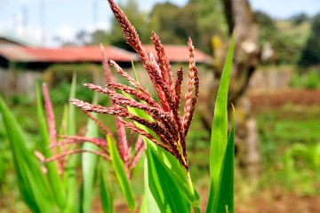 Maize_on_a_Mount_Kenya_farm