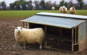 Irish Sheep Farm