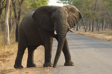An elephant in Hwange National Park in 2015.  (AP Photo/Tsvangirayi Mukwazhi)