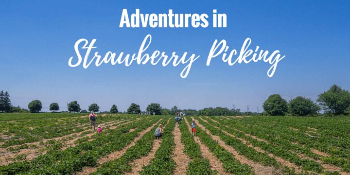 Adventures in Picking Strawberries