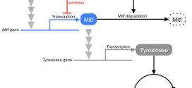 Dual effects of acetylsalicylic acid on ERK signaling and Mitf transcription lead to inhibition of melanogenesis
