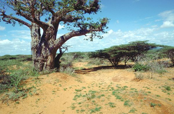 A scenic photograph of a tree near Kismayo, Somalia. -SGT. G.D. ROBINSON