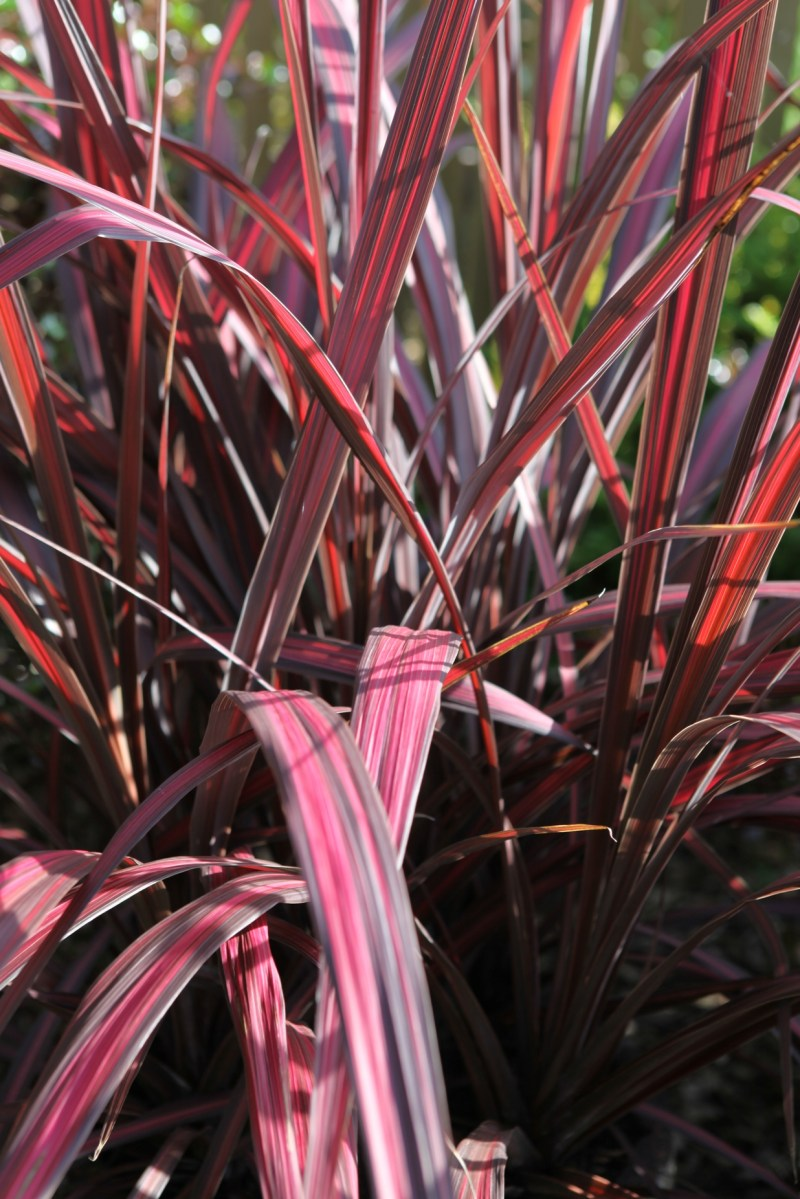 Large Of Cordyline Electric Pink