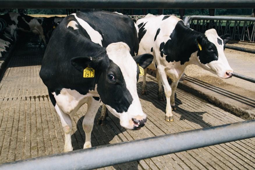 dairy farm- cow