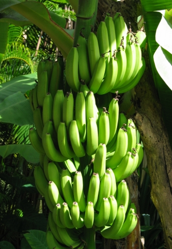 Bananas_in_Hawaii_scaled
