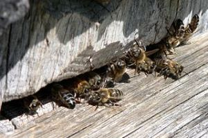 Bees at hive entrace.  Photo by Wojsyl via Wikimedia Commons.