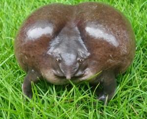 cerdo rana Morales Fallon
