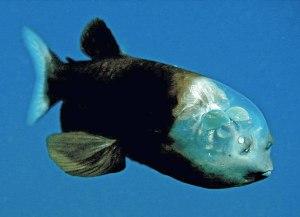 pez ojos de barril Morales Fallon