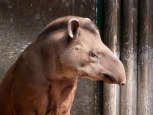 tapir Morales Fallon