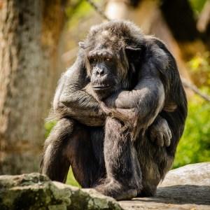chimpanzee triste Morales Fallon