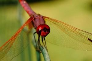 libélula Morales Fallon