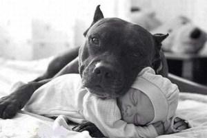 pitbull con bebe Morales Fallon
