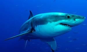 tiburón blanco morales Fallon