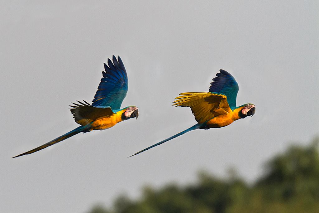 A pair of blue and yellow Macaws