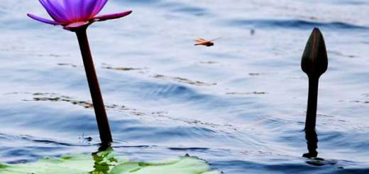 Water Lily and Dragonfly - GoGoodness