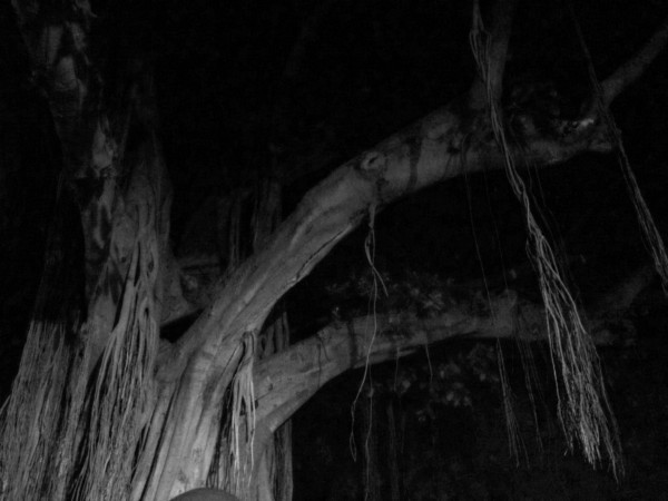 gogoodness - banyan tree at night