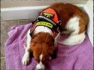 Kooikerhondje in Human Remain Detection Vest