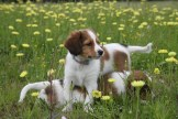 Two male kooikerhondje puppies playing in a field in Finland.