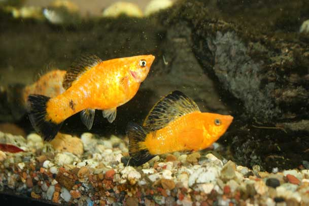 Young Pair Goldwag Sailfin