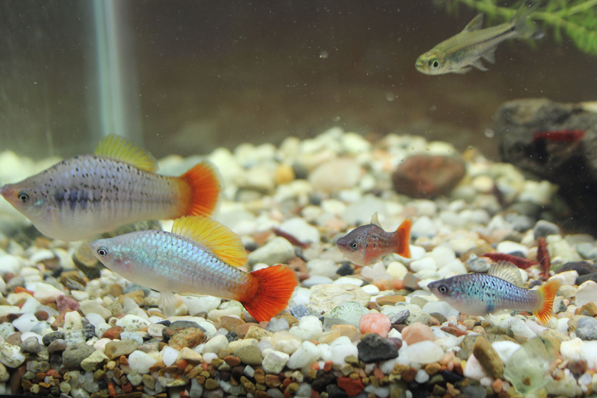 Photo of a pair of Giant Redtail Blue Variatus and two mature male Redtail Blue Variatus.