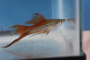 Photo of a male Veiltail Blushing Swordtail.