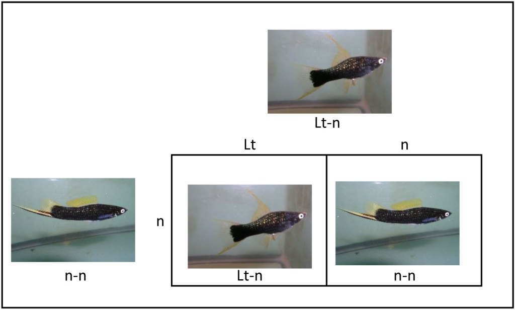 Photo of Punnett square showing mating of female Black Lyretail Swordtail to male Black Swordtail.