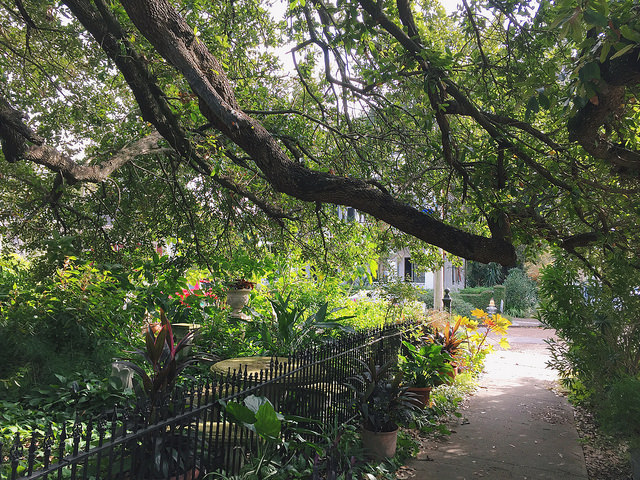 The oldest tree in Algiers Point - the Honor Bark Tree - on the property of Algiers ship builder Francois Vallette on Pelican Avenue.