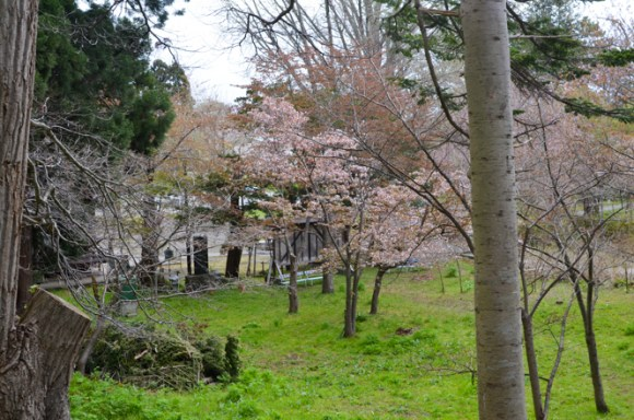 Cherry Blossoms of Usu Zenkoji Temple in Date