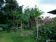 Papaya Tree in the garden