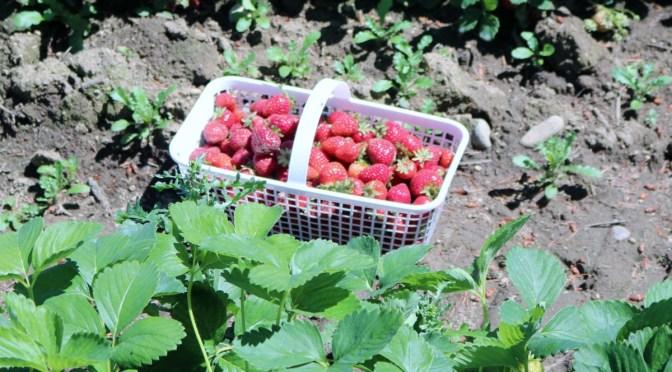 BC Strawberries #Contest